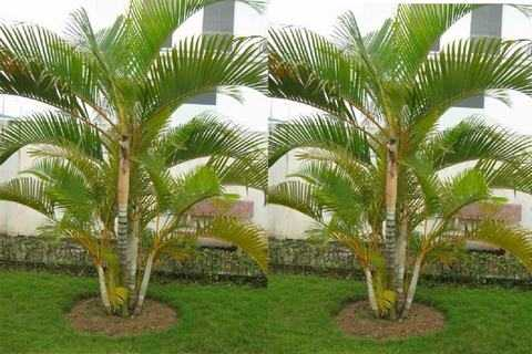 trồng dừa cảnh trước nhà