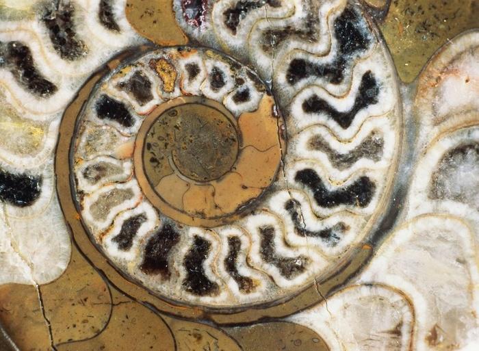 Hóa thạch ốc Anh Vũ