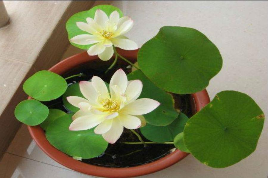 Chọn loại cây phong thủy nào vừa có hoa đẹp hút tài lộc?