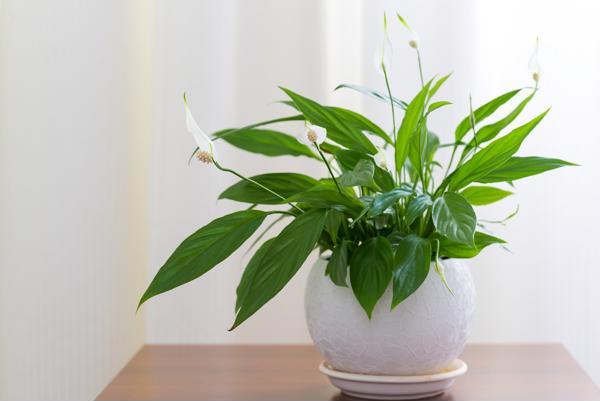 5 loại cây phong thủy vừa hút độc tố trong nhà mang lại may mắn