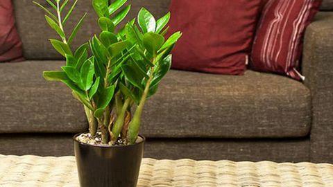 cây phong thủy trong phòng khách