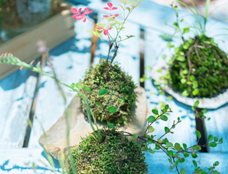 nghệ thuật trồng cây Kokedama