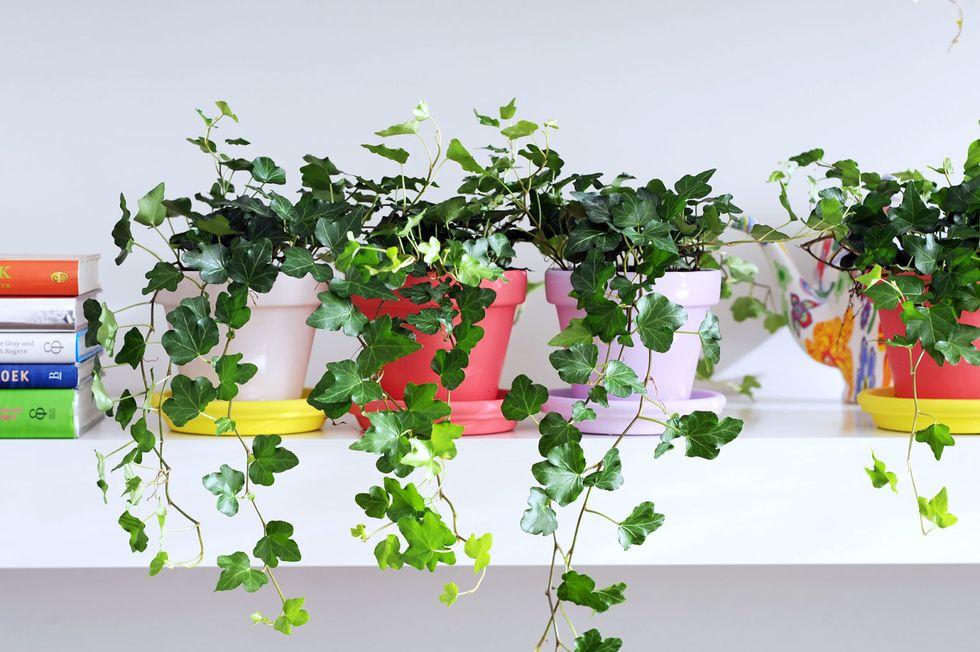 những chậu cây thường xuân được đặt trên kệ gắn tường