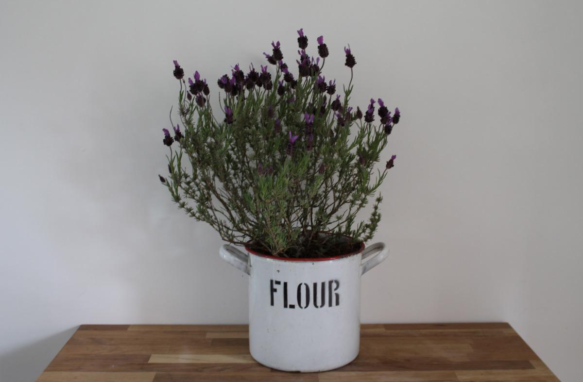 chậu hoa oải hương nhỏ đặt trên bàn