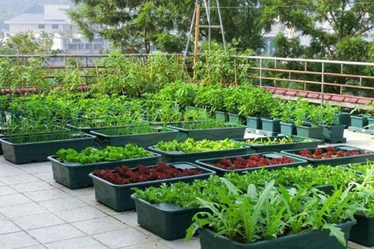 vườn rau trên mái