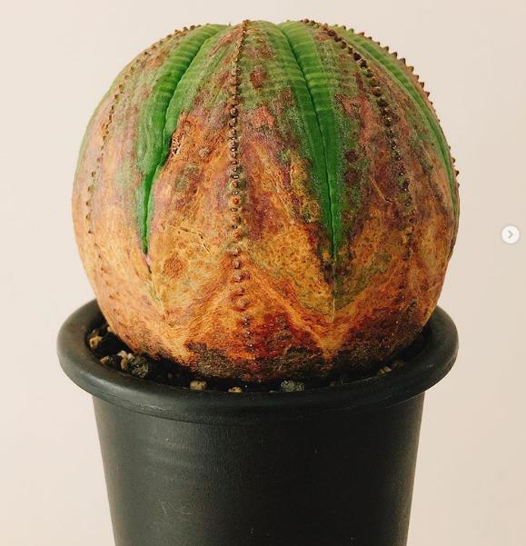 cây Euphorbia obesa