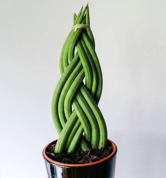 cây Sansevieria Cylindrica