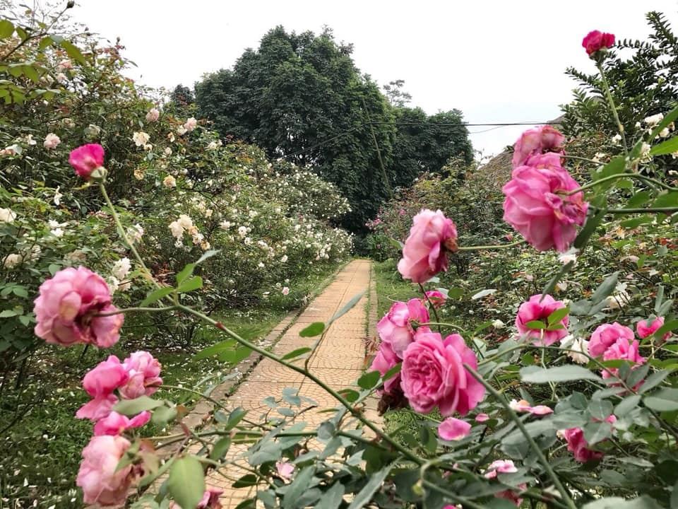 Vườn hoa hồng