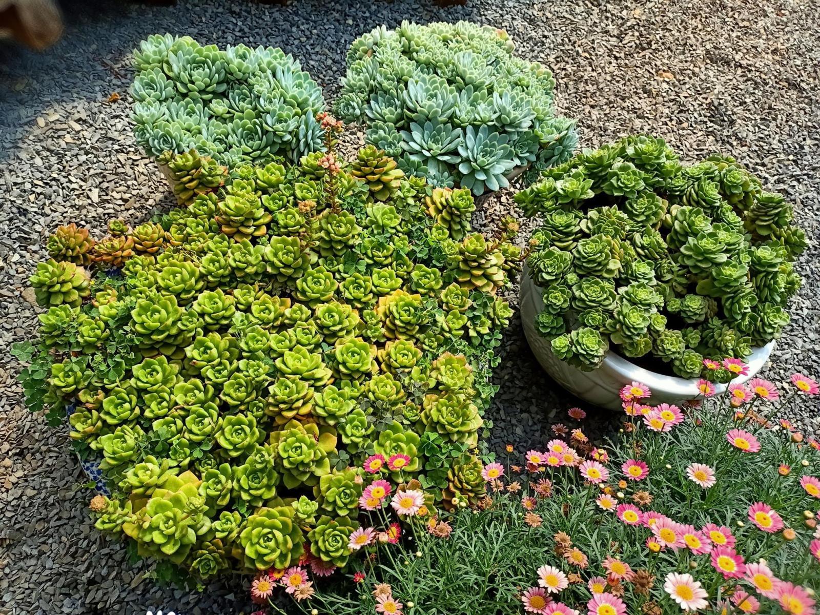 Chậu cây sen đá và hoa