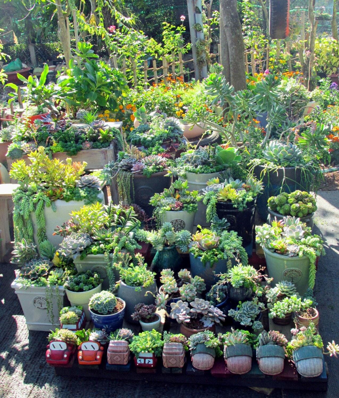 Góc vườn gồm nhiều chủng loại sen đá