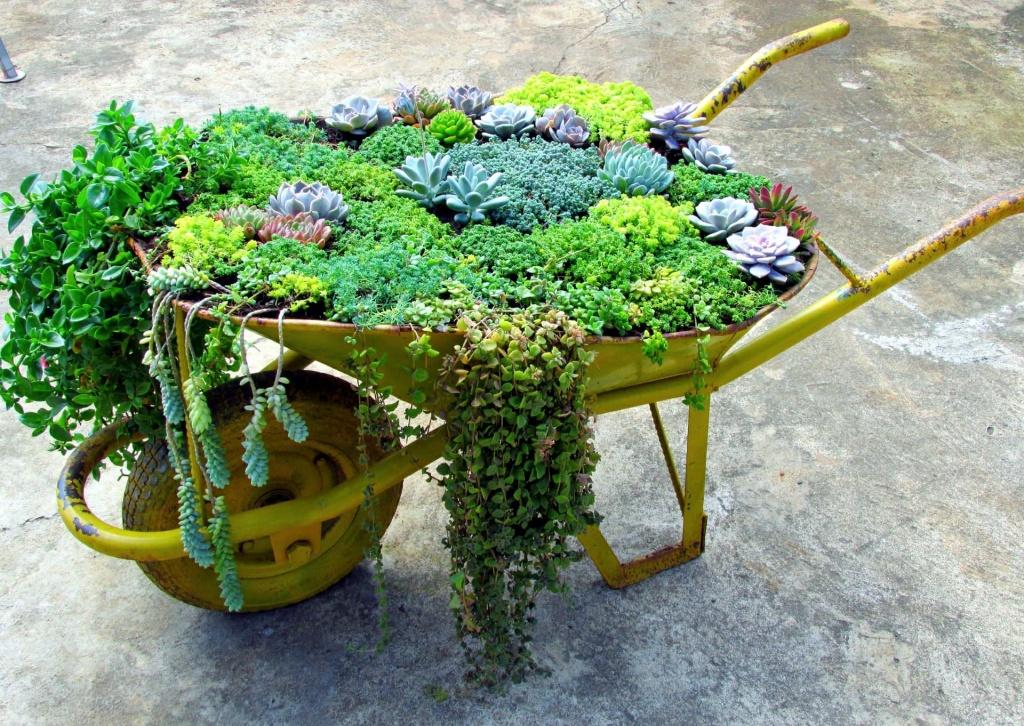 Sen đá trồng trong xe rùa