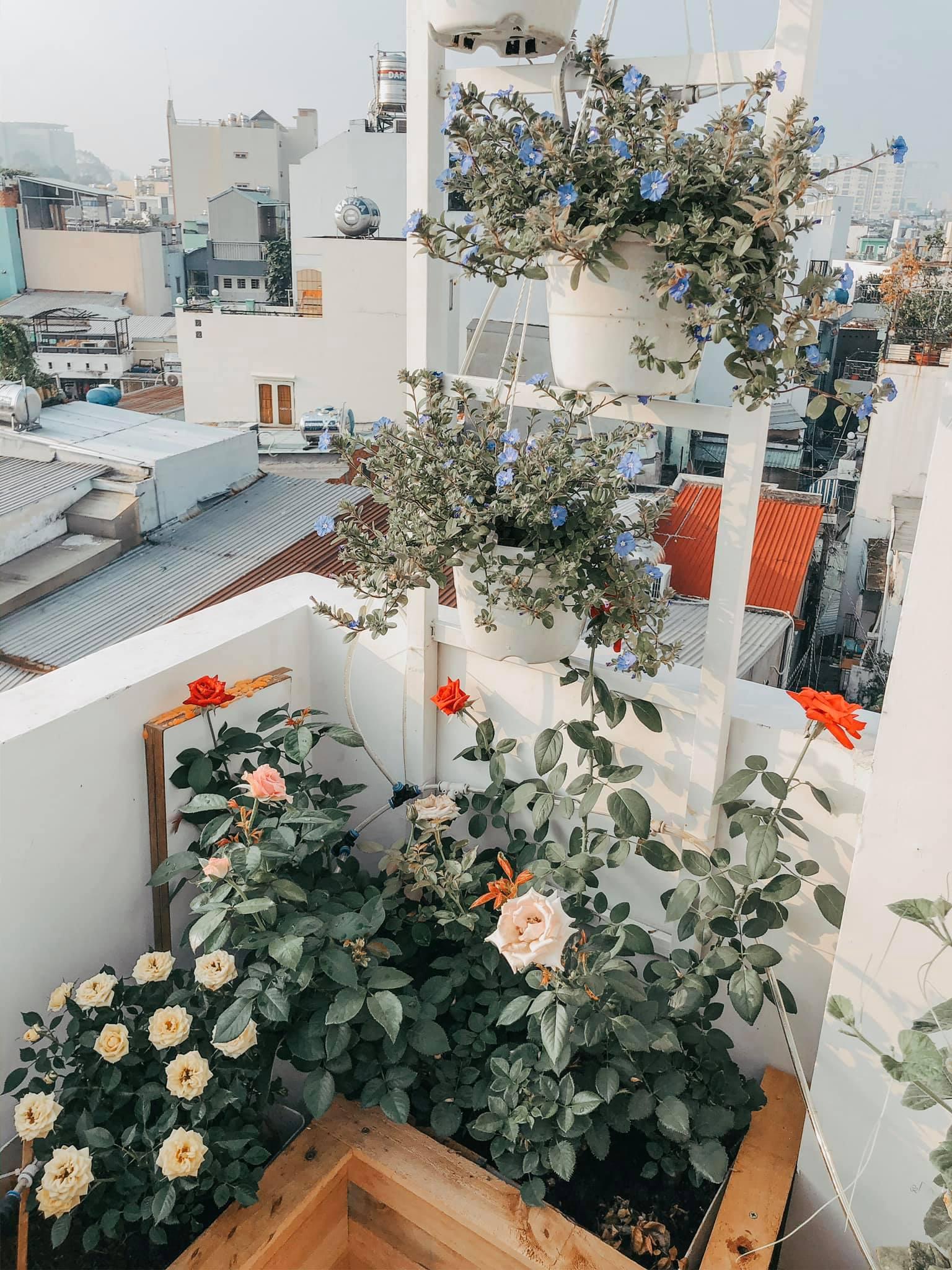 Bụi hoa hồng trong vườn trên sân thượng