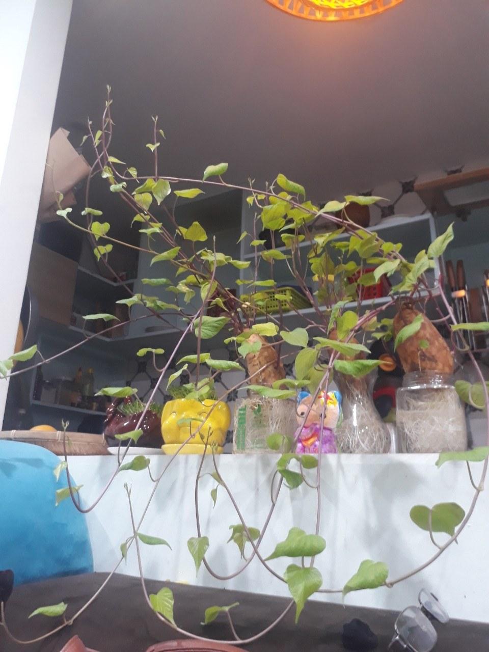 Cây khoai lang bonsai trang trí trong nhà