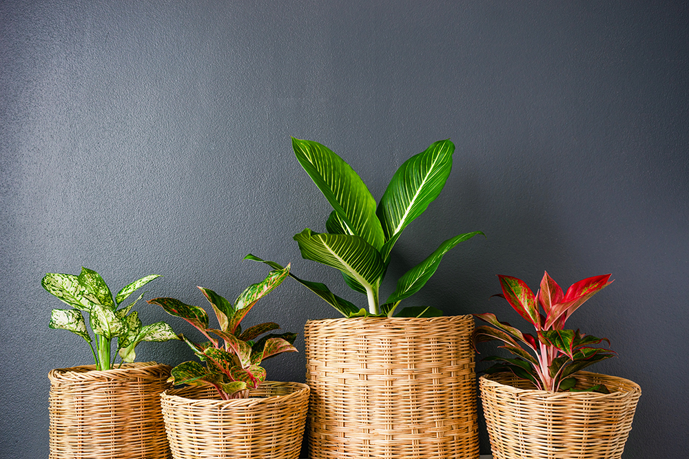 Giỏ cói trồng một số loại cây cảnh để bàn đẹp.