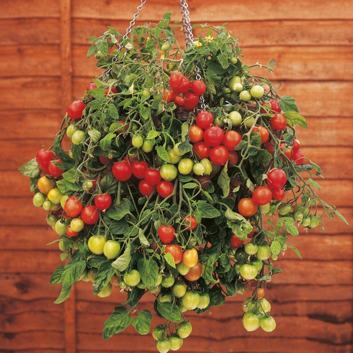 Cà chua trồng trong chậu treo