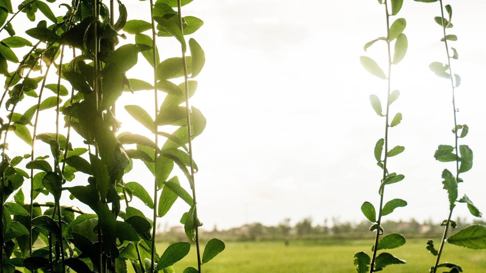 View xanh mát với hàng rào cây thân leo và cánh đồng bát ngát