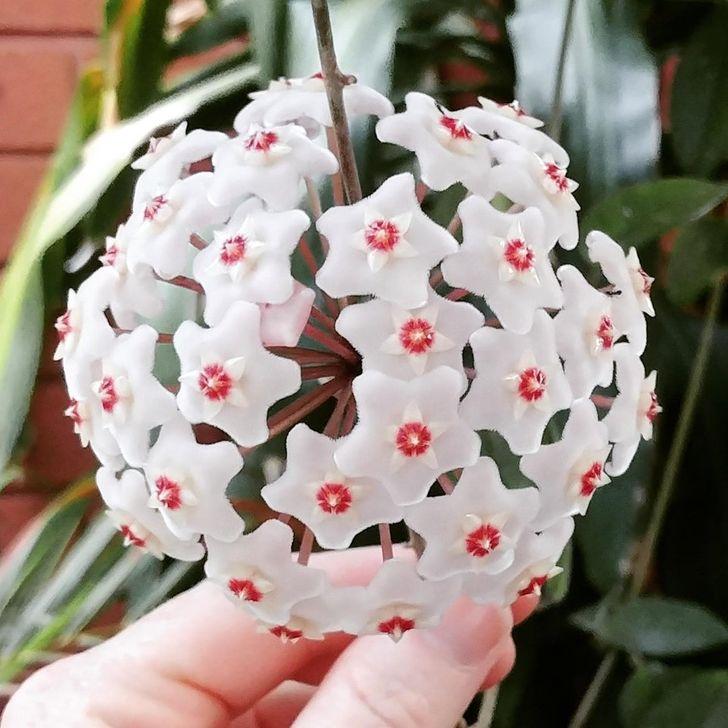 Chùm hoa cẩm cù