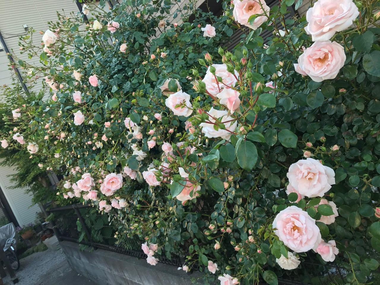 cây hoa hồng nhiều nụ, sai hoa