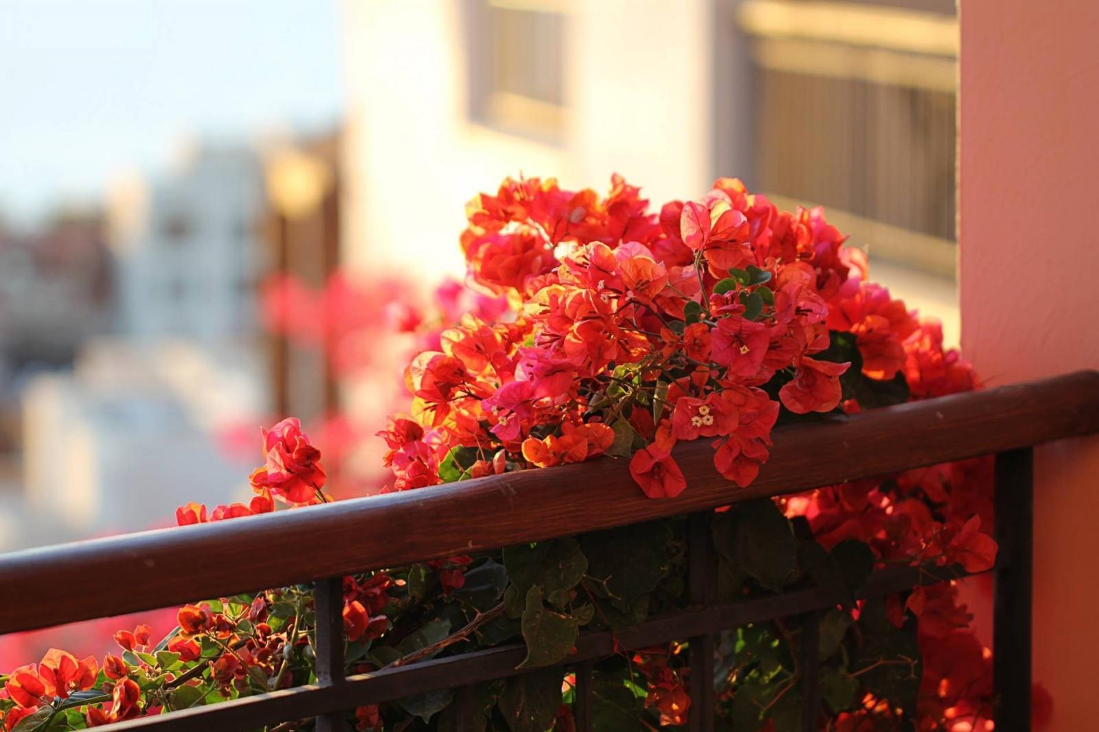 Một khóm hoa giấy lai màu hồng cam leo ngoài ban công