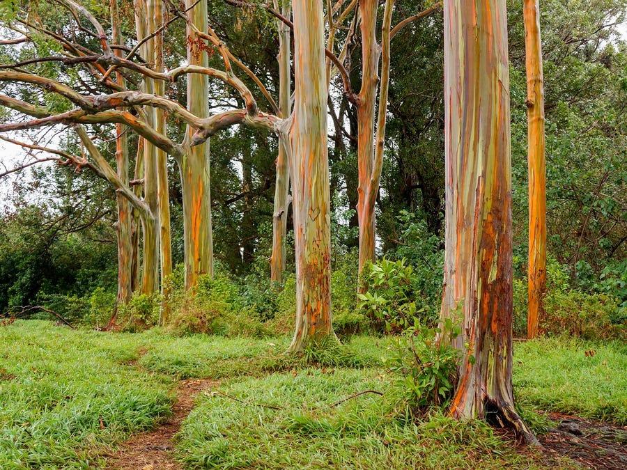 Các khu rừng trồng bạch đàn được xếp vào nhóm đất trồng cây lâu năm
