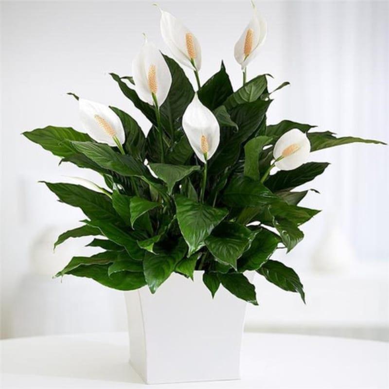 hoa lan ý