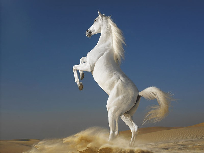 Tranh ngựa trắng