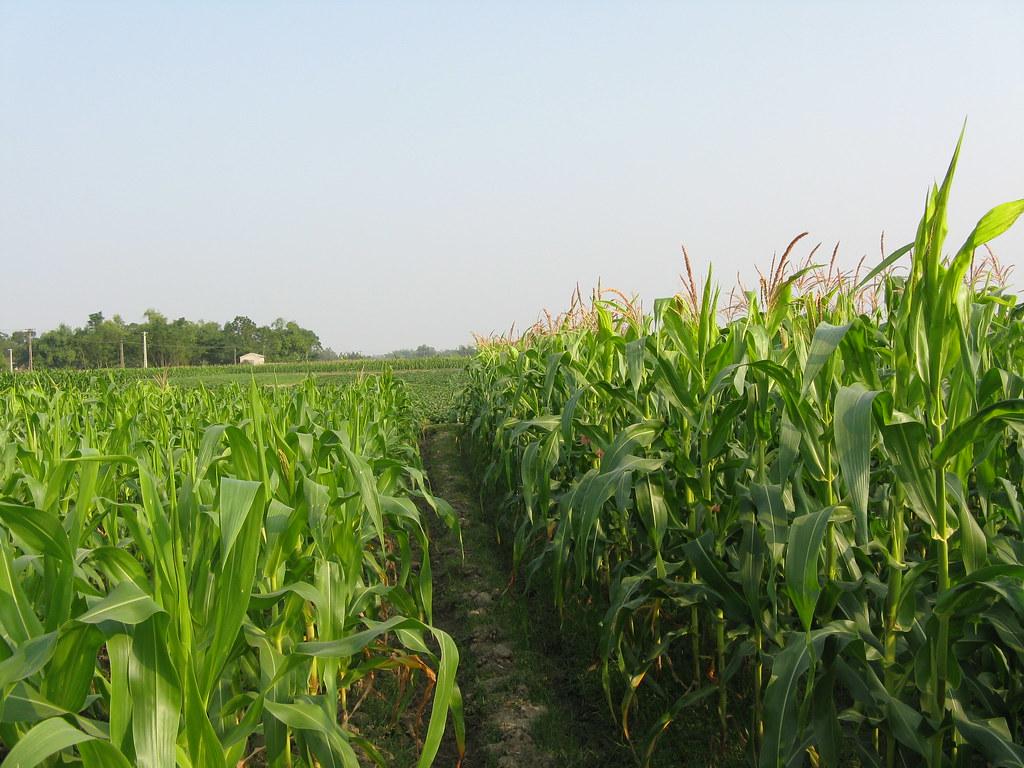 Đất HNK với mục đích sử dụng là trồng cây có thời gian sinh trưởng ngắn