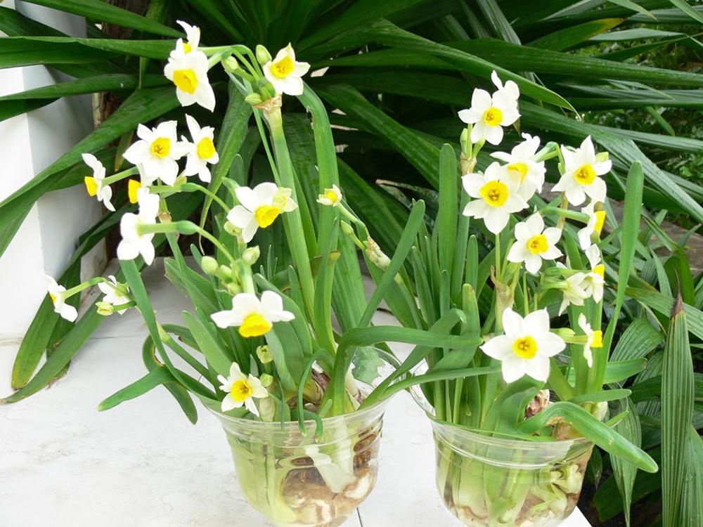 Có rất ít người biết hoa thủy tiên có chứa độc tố