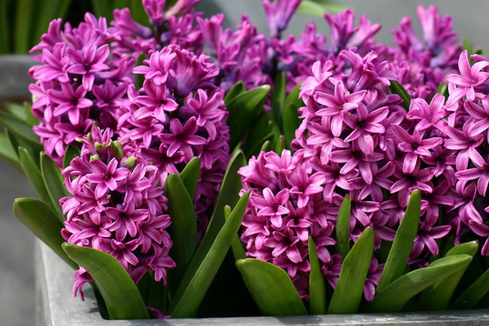 Dạ lan hương được cho vào list những loại cây không nên trồng trong nhà