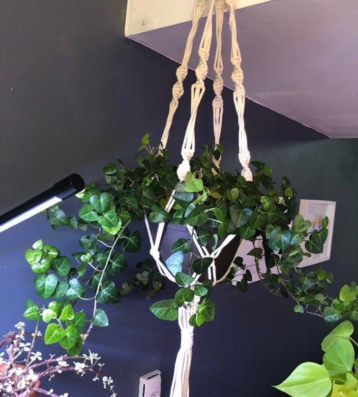 10 loại cây hút ẩm không khí trong nhà: cây thường xuân