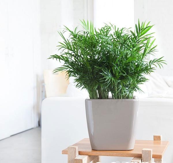 10 loại cây hút ẩm không khí trong nhà: cau tiểu trâm