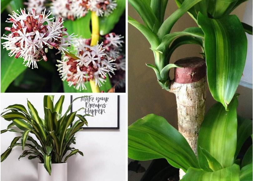 10 loại cây hút ẩm không khí trong nhà: cây thiết mộc lan