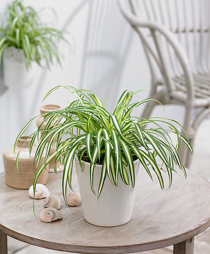 cây dây nhện - cỏ bạch chỉ - cây lan chi