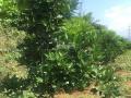 Cần nhượng gấp 10 ha đồi Cam tại thị xã Hòa Bình, tỉnh Hòa Bình, giá rẻ 3,5 tỷ