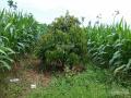 Tôi cần bán gấp đất nông nghiệp đang trồng cây Sầu Riêng, Bơ tại xã Bảo Bình, Cẩm Mỹ 0938745808