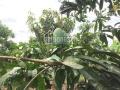Bán gấp trang trại nghỉ dưỡng xã Sông Ray, huyện Cẩm Mỹ, Đồng Nai, 13,646m2 giá 1.45tỷ. 0908759337