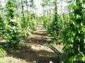 Chính chủ cần bán đất vườn tiêu cao 2m, 1,2ha, 1,7tỷ tại Sông Ray, Cẩm Mỹ, Đồng Nai. LH: 0902858343