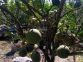 Cần bán gấp vườn Bưởi và Chanh tại xã An Lập Dầu Tiếng BÌnh Dương