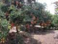 Bán vườn cây ăn trái chôm chôm thái, sầu riêng, măng cụt gần sân bay Long Thành, thổ cư 100m2