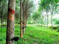 Bán trang trại có 30 hécta đất trồng cao su cùng 2 trại heo tại Bình Phước