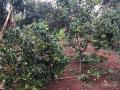 Bán vườn cây ăn trái 1.896m2, xã Long Phước, TP. Bà Rịa 1,7 tỷ
