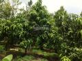 Bán nhà vườn, nghỉ dưỡng (3,1 ha) nuôi heo 700 con và vườn xoài 800 gốc, giá 4.5 tỷ. LH: 0919 7696