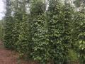 Bán đất vườn tiêu tơ đang thu hoạch ở Bàu Chinh Châu Đức BR - VT LH 0931320391