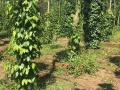 Cần tiền bán gấp vườn cây ăn trái,sầu riêng măng cụt bờ ghép cực đẹp cách mặt đường lộ đúng 70m