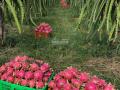 Bán 3,000 trụ Thanh Long 3 năm tuổi đang thu hoạch, có bình điện 100kva. Liên hệ: 0939888916