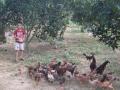 Cần cho thuê trại gà chăn được 6000 con gà có vườn thả.