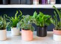 Tiêu tán tài lộc vì trồng cây phong thủy trong nhà sai cách