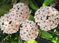 6 loại cây có mùi thơm giúp nhà luôn ngát hương mà không cần tới nước xịt phòng