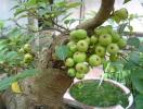 Ý nghĩa phong thủy của cây sung