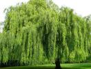 5 loại cây xui xẻo tránh trồng trong vườn